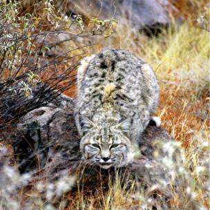 A bobcat waiting to pounce