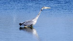 A heron at the Conwy RSPB Nature Reserve