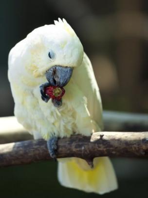 попугай ест чили