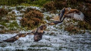 Red kites at Bwlch Nant yr Arian Forest Visitor Centre, Ceredigion.
