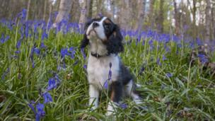 And Alan Stokes took this picture of his dog Buddy among bluebells in Margam