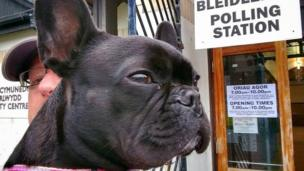 Molly the French Bulldog in Swansea