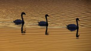 Steve Huggett took this photo of three swans swimming at sunset at Dryslwyn in Carmarthenshire