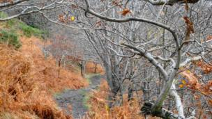 Silver birch and golden bracken on the path down from Conwy Mountain, Conwy