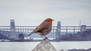 A robin perches on a wall overlooking the Menai Strait from Church Island.