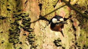Woodpecker coming out of tree hole
