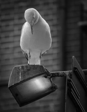 A herring gull sitting on a lamppost looking down