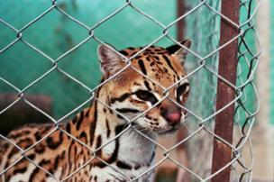 Un jaguar detrás de una reja