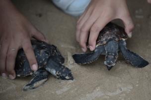 ลูกเต่าทะเลที่ได้รับการปล่อยสู่ทะเลครั้งนี้มีทั้งสิ้นจำนวน 1,066 ตัว