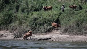 ชาวลาวนำวัวที่เลี้ยงมาหากินที่ริมแม่น้ำโขง