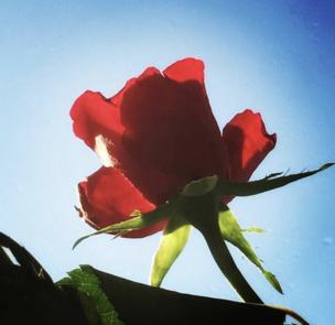 A rose against the sun