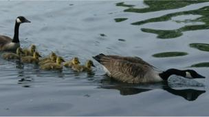 Geese and goslings on Roath Park lake