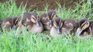Mallard ducklings on the canal in Pontymister, Caerphilly county