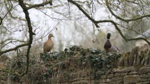 Ducks sitting on a wall in Minster Lovell.