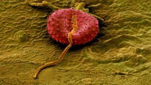 Polen de otra planta depositado sobre la superficie de una semilla de Avena fatua