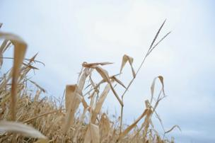 Dry crops against a blue sky
