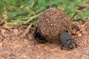 in_pictures Dung beetles in Zambia's South Luangwa National Park