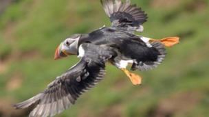 A puffin in full flight