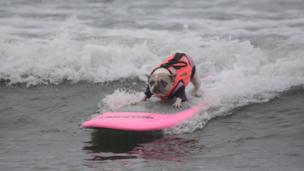 A small dog surfing