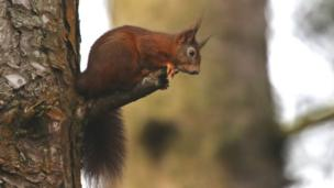 Red squirrel at Newborough Forest on Anglesey