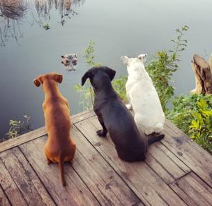 in_pictures Three dogs look down on to a hippo poking out of a river