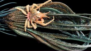 "A 6cm ""clinger"" crab of family Epialtidae"