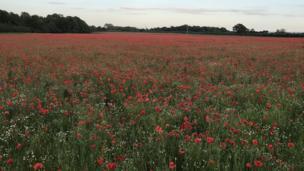Poppy field in Marcham