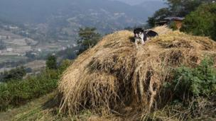 Dog on a pile of straw in Nepal