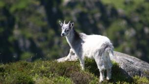 A wild goat kid in Snowdonia