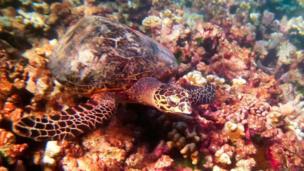 Một con rùa bơi trên rặng san hô
