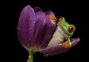 A frog emerging from a flower