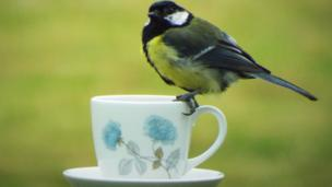 Great tit sitting on teacup