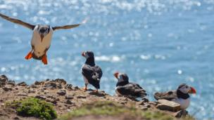 Puffins on Skomer Island, Pembrokeshire