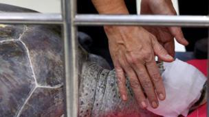 เต่าออมสินหลังผ่าตัด