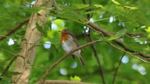A robin in a tree in Cefn Onn Park in Cardiff