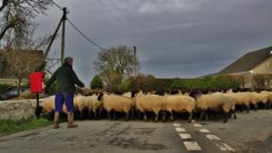 Sheep are moved for winter lambing in Rhosybol, Anglesey.