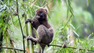 lemur in a tree