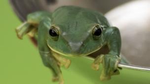 Flying Frog,