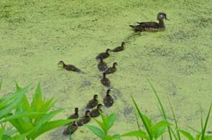 Ducklings on a pond