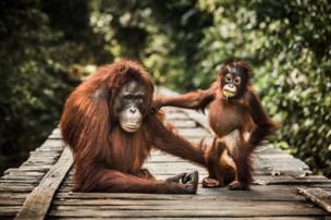 Two chimpanzees on a pier