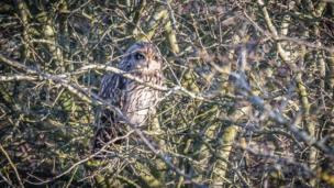 Owl looking through branches