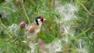 Goldfinch on thistles at Newborough, Anglesey