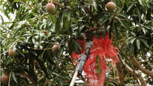 A man uses a mesh tied to a stick to try to dislodge mangoes from a tree in Boca del Grita, Venezuela.