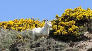 A goat in front of gorse on Llandudno's Great Orme