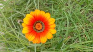 Flor amarilla y naranja contra un fondo de césped verde