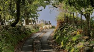 Sheep on a country path in Ystradfellte, Powys, by Janet Jenkins