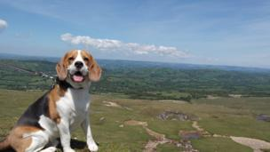 Alfie the beagle at Black Mountain