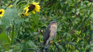 Sunflowers in Faringdon and a sparrowhawk