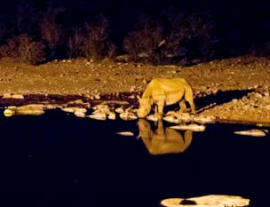 A rhino drinks at a waterhole