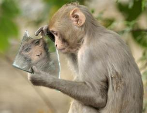 A monkey stares at its reflection on a broken piece of mirror